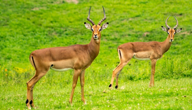 Wild Antelopes are some of the fastest preys a wild cat has to hunt.