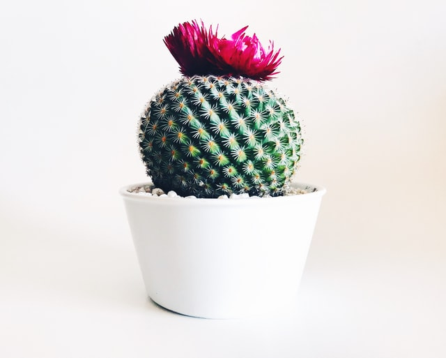 Cactus is known to have thorns.