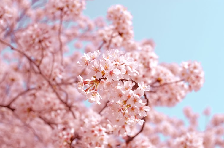 Find quotes about cherry blossom trees here.