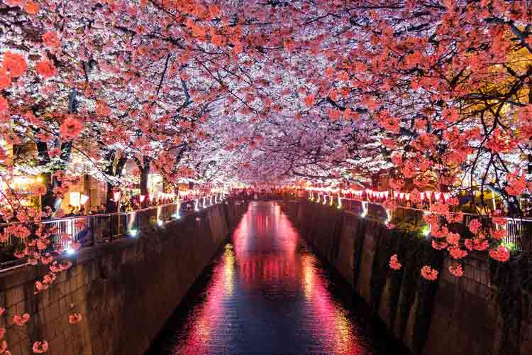Japanese cherry blossom quotes, sayings and phrases are beautiful.