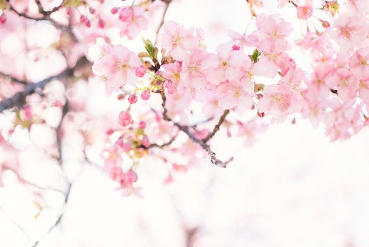 Cherry blossom are beautiful.