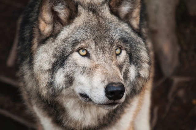 Wolf quotes about strength can become your wolf motto and make you act powerful like a wolf.