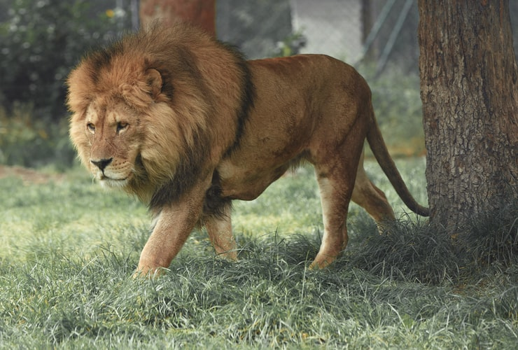 The lion is one of the most ferocious hunters