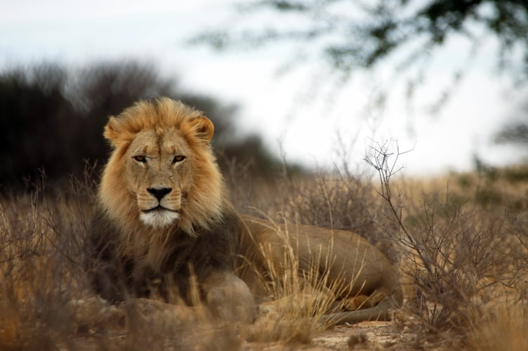 The Lion is one of the most magnificent creatures.
