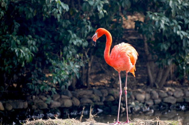 Pink flamingo is an extremely beautiful bird.