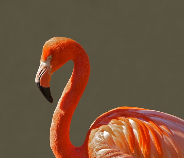 Flamingos live in a flock.
