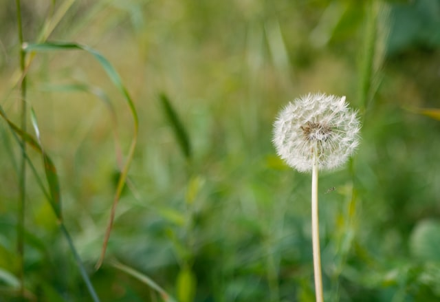 Dandelions are one of nature's most beautiful flowers.