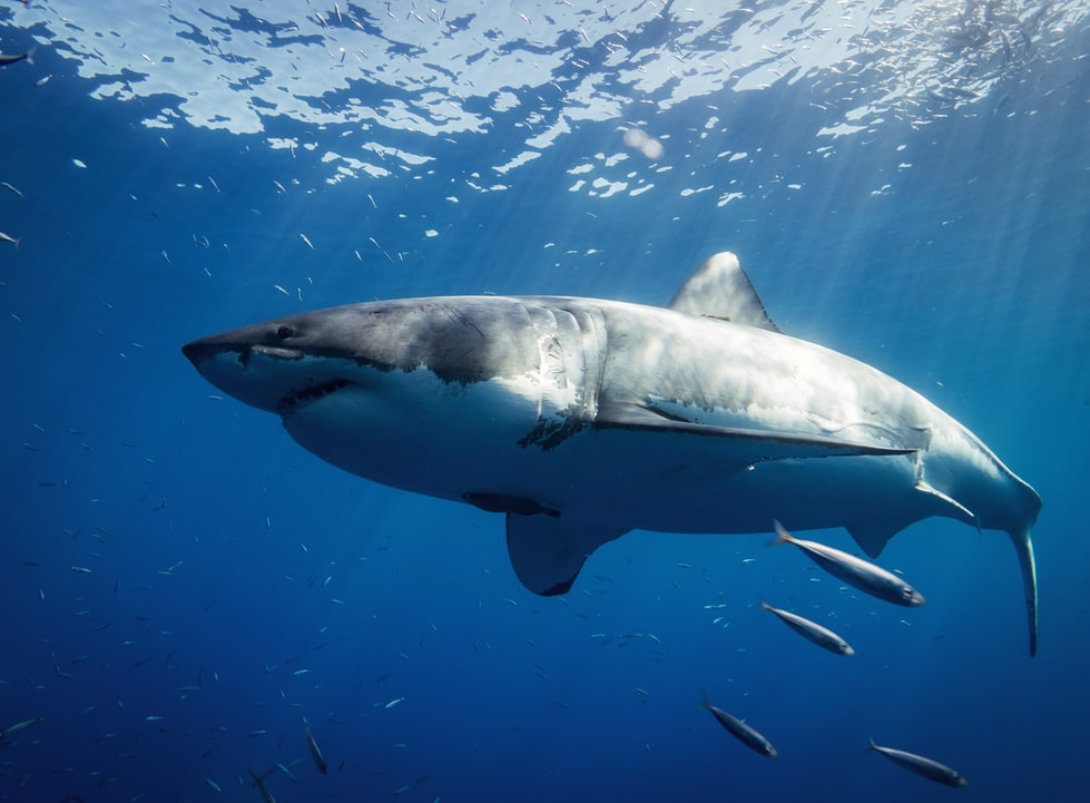 Sharks love fish.