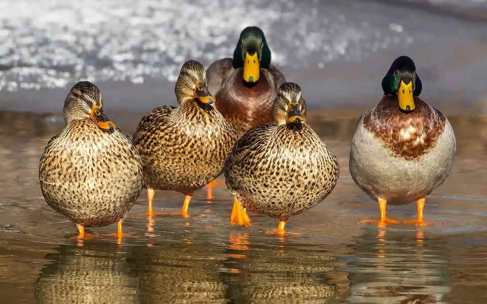 There are many duck quotes that are really funny