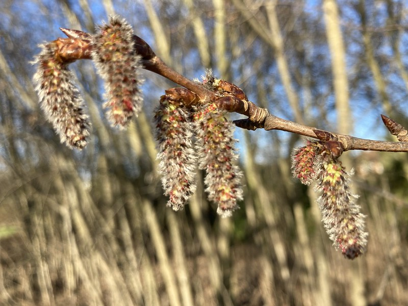 How many different types of catkin flower clusters can you spot dangling from trees?
