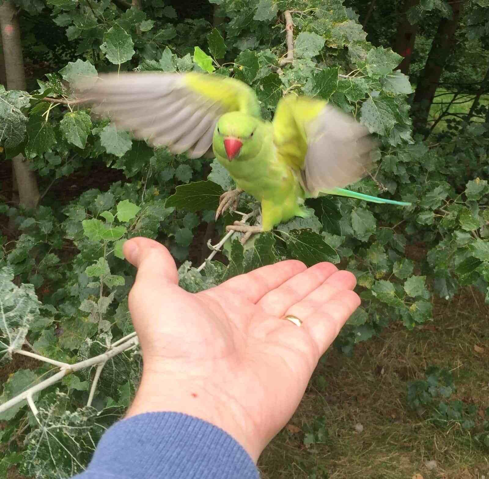 Kensington Gardens parakeet on a hand.