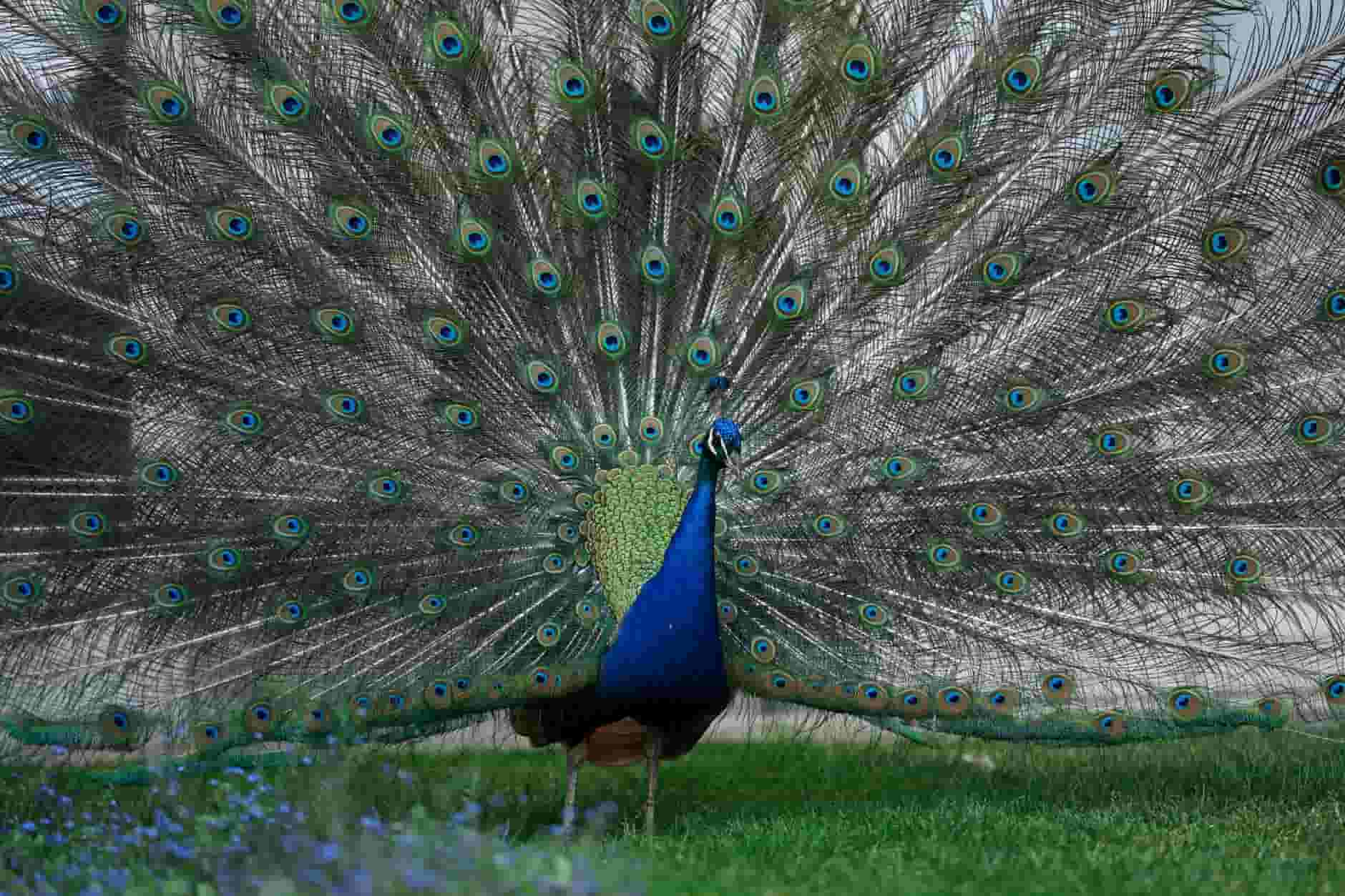 The peacock is a beautiful bird that is also the national bird of India.