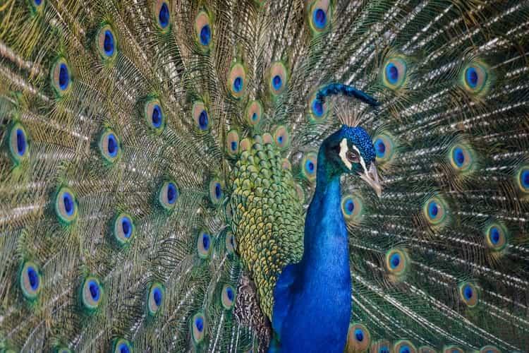 To many, peacocks are inspirational birds.