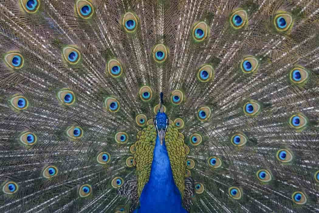 Peacock quotes discuss leadership, beauty, sophistication, love, and pride.