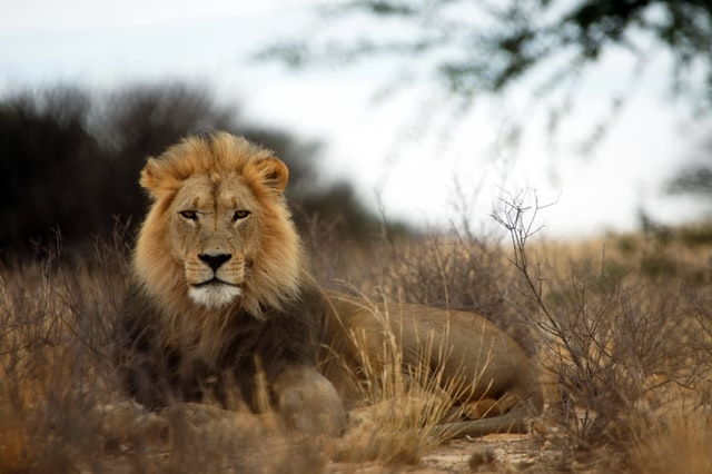 Lion quotes invoke the power within.