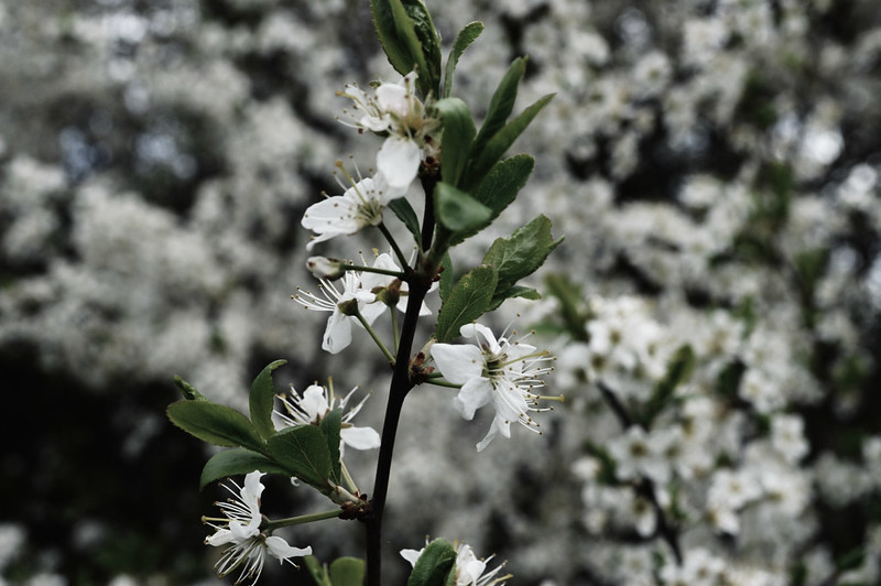 You'll find the blackthorn growing in suburban hedgerows.