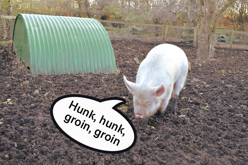English pigs can be seen saying 'oink' or grunting.