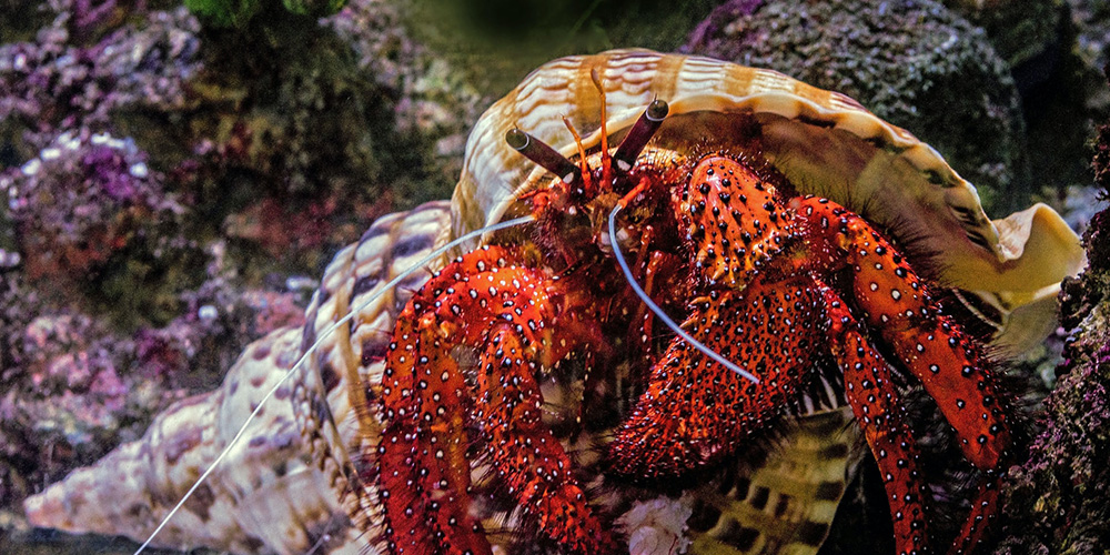 A red hermit crab scuttles along the ocean floor.