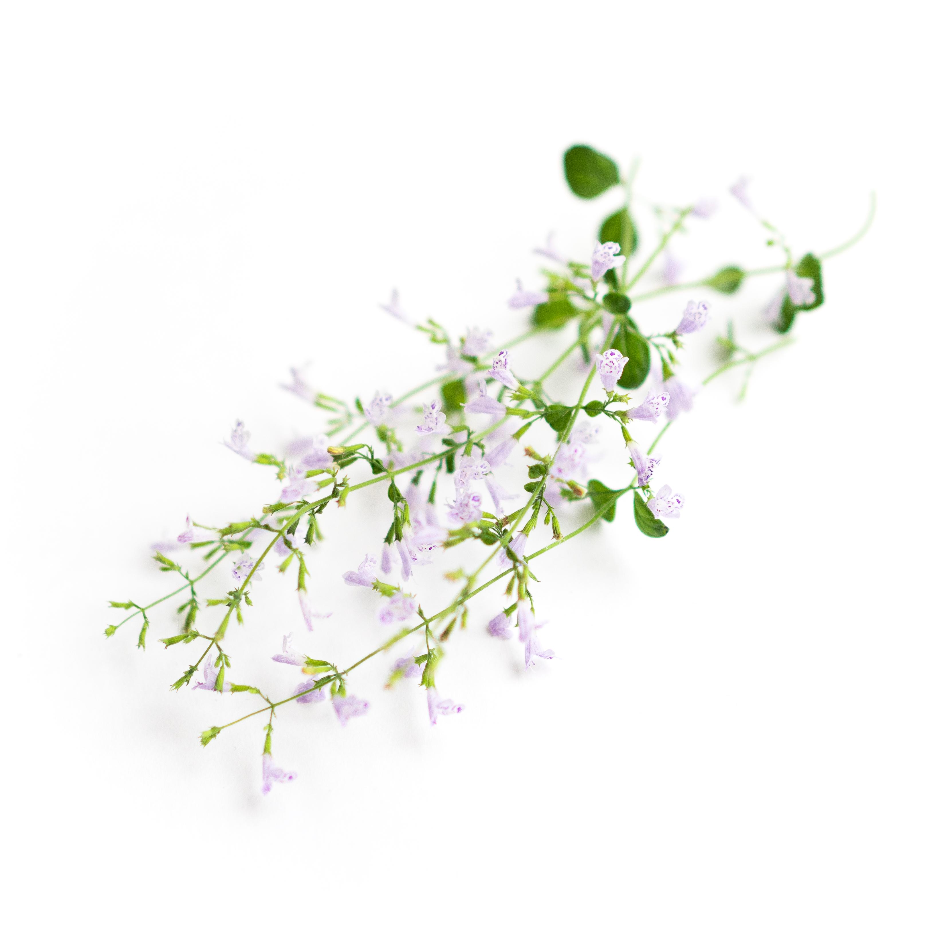 Nepitella Flower