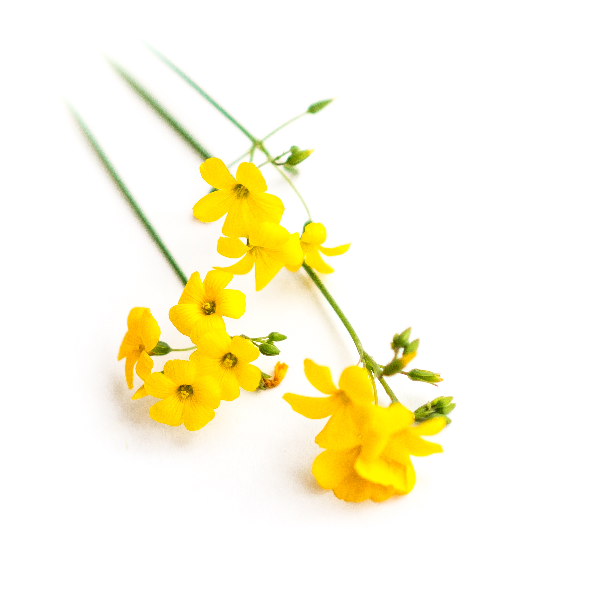 Sour tangy flavor in bright yellow flowers like buttercups