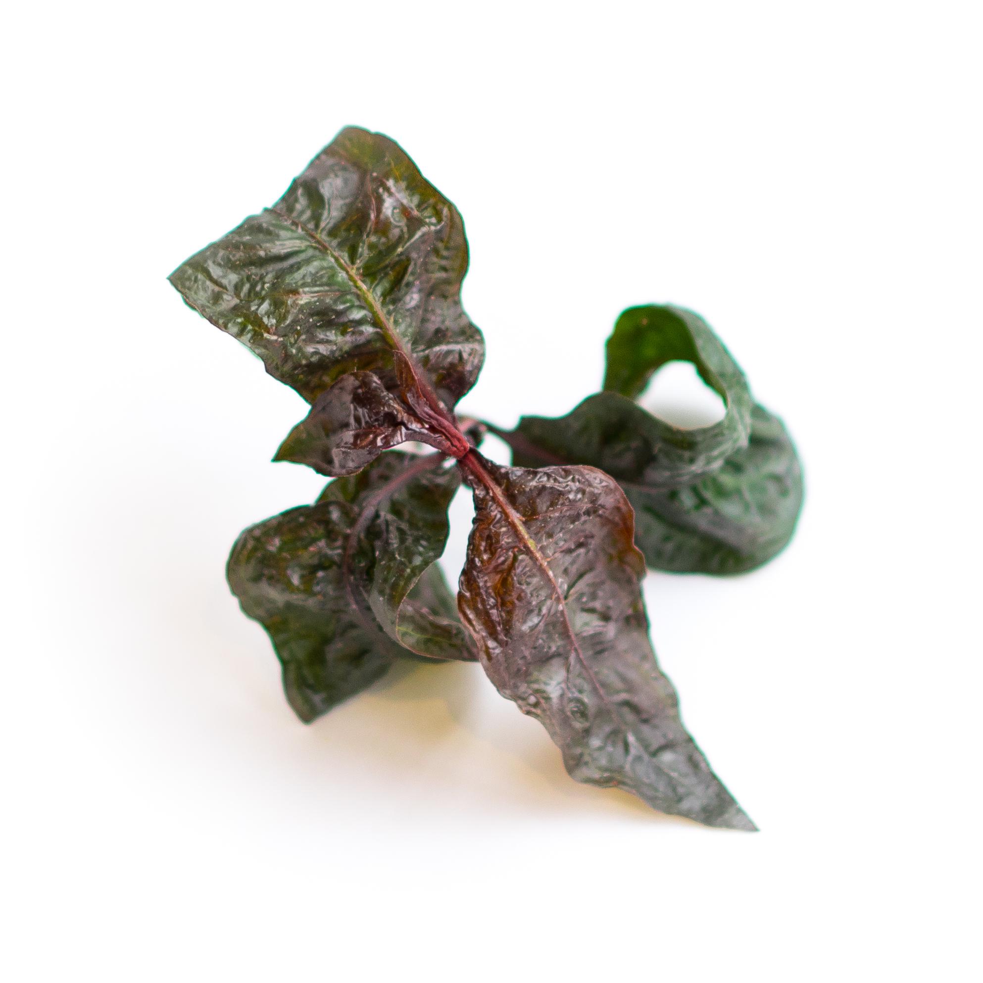 Akatade (Water Pepper)
