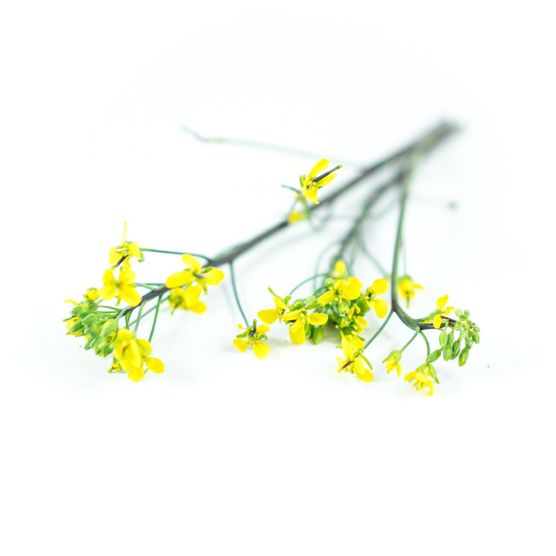 Kosaitai Flowering Brassica