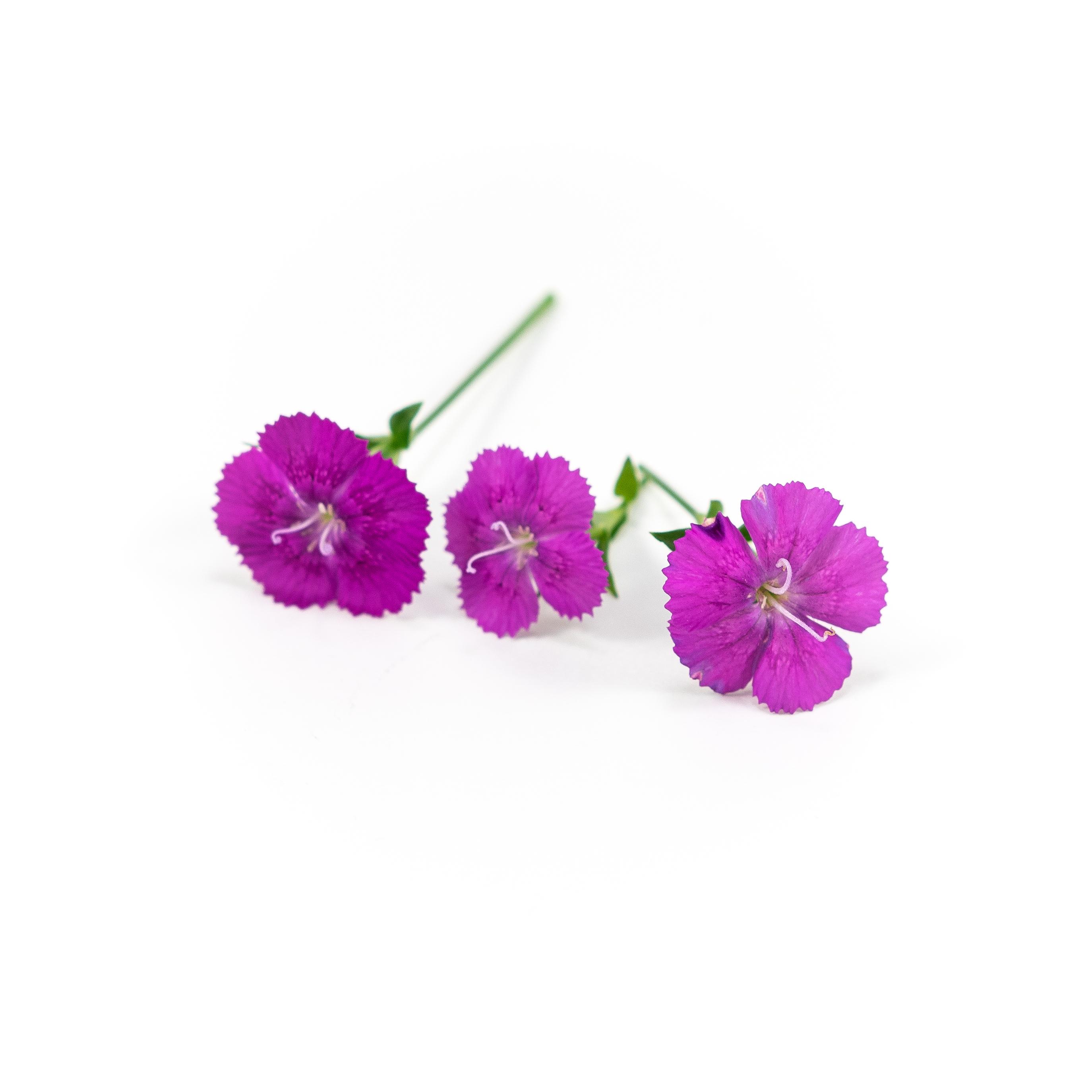 Dianthus (Purple)