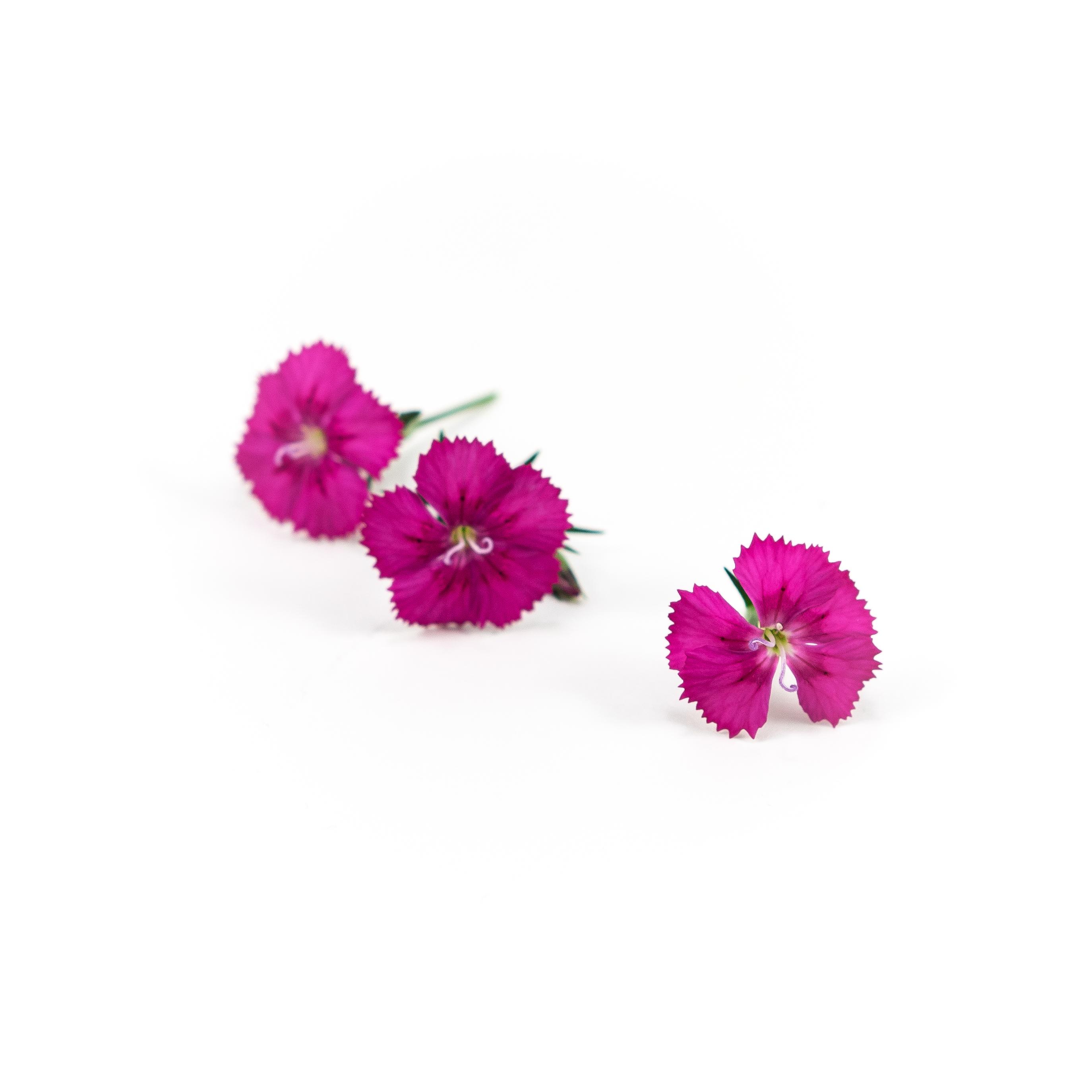 Dianthus (Amazon Neon Cherry)