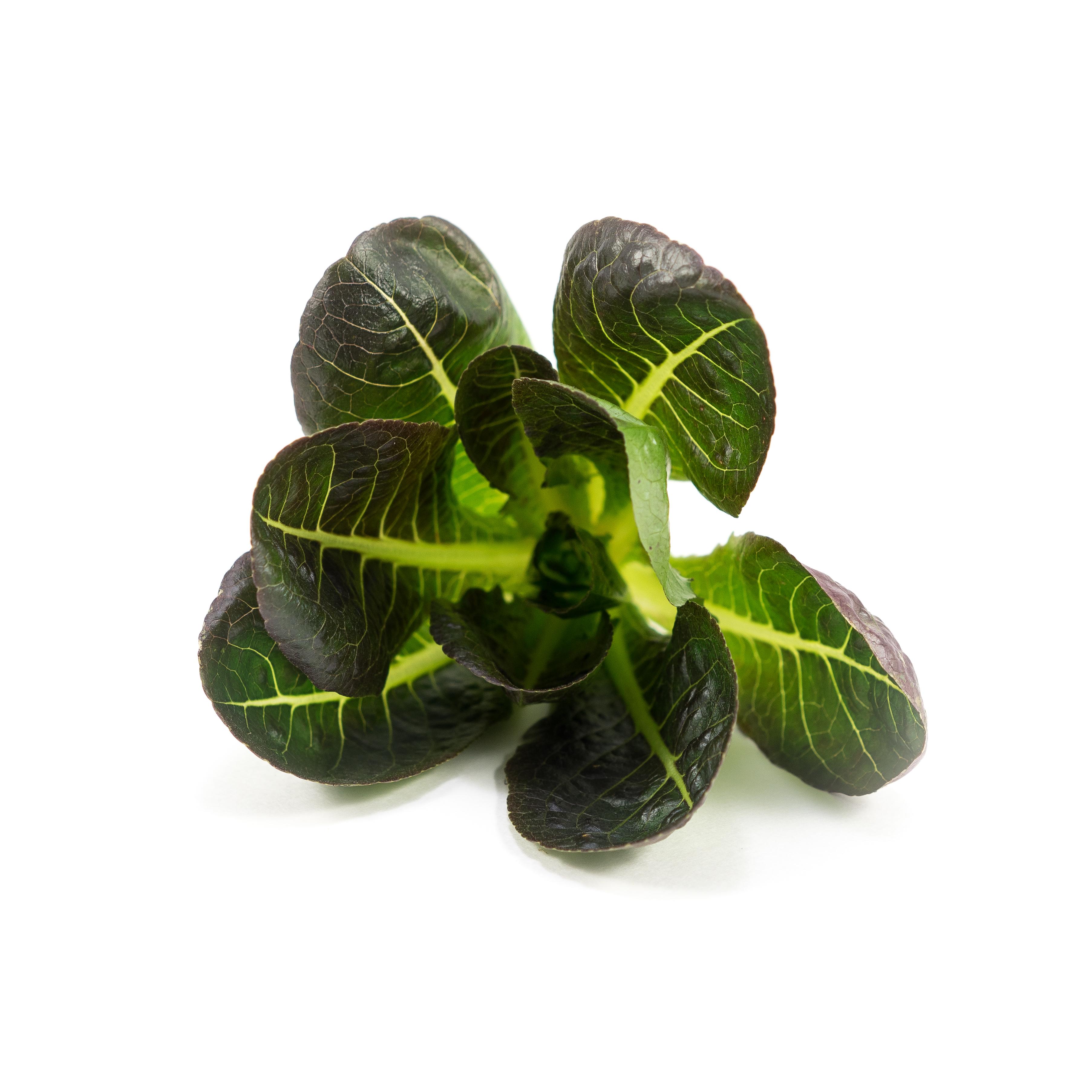 Lettuce (Truchas)