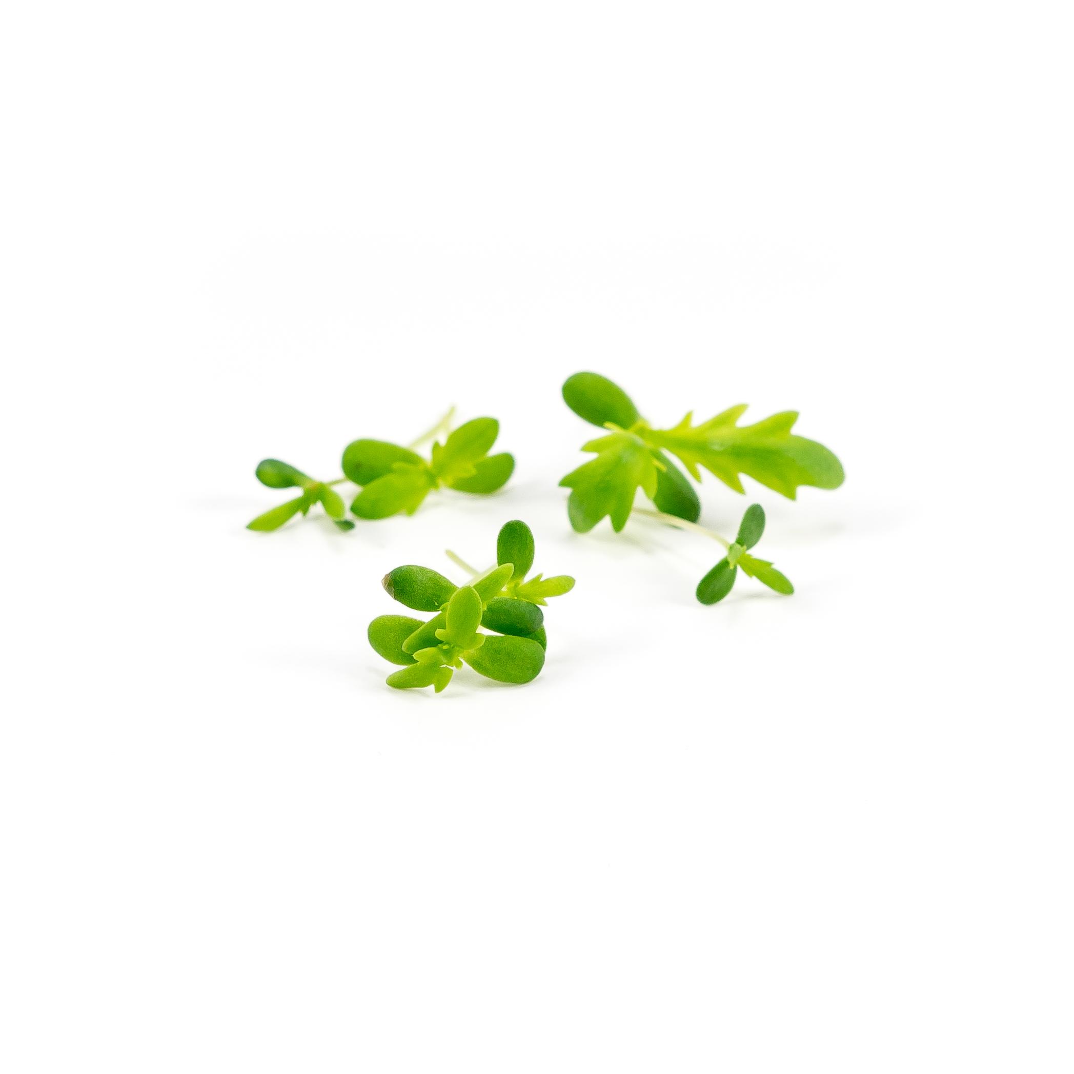 Serrated leaves with mild chrysanthemum flavor