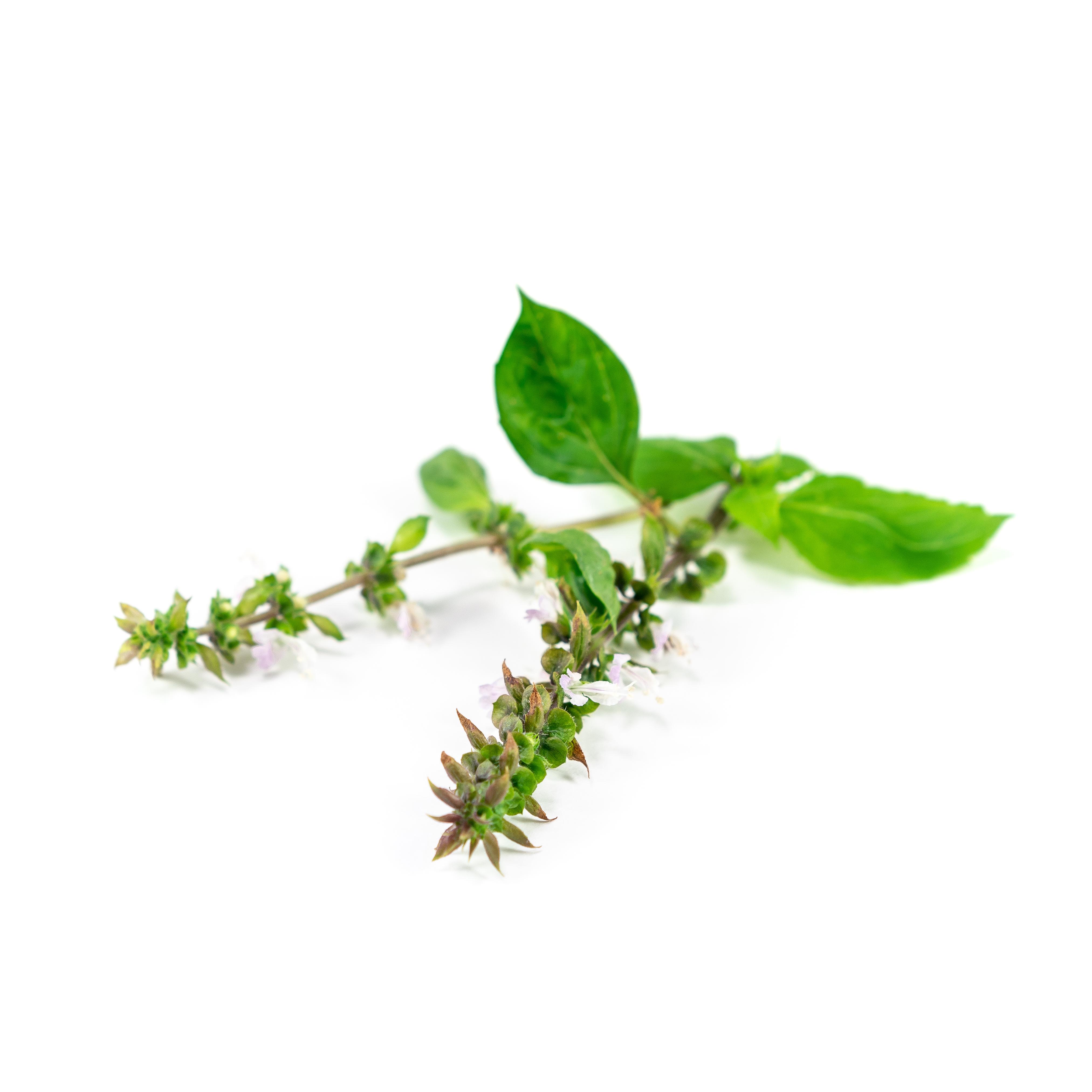 Basil (Cinnamon) Flowering Stem