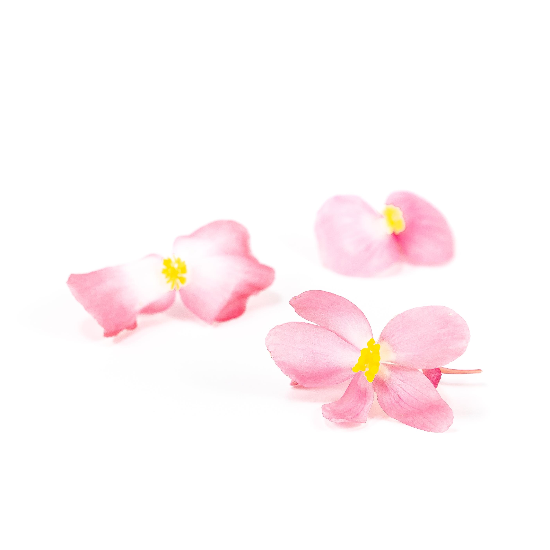 Begonia (Dragon Wing Pink)