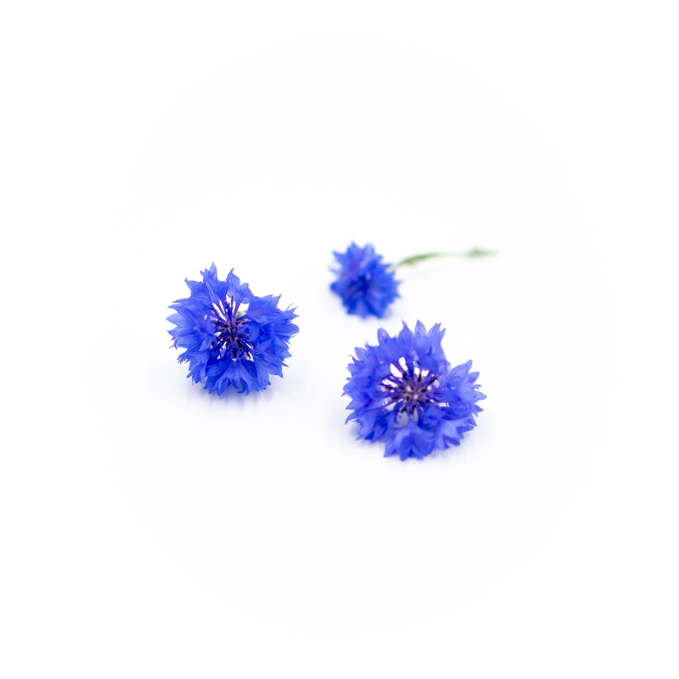 Bachelor Button (Blue Boy)