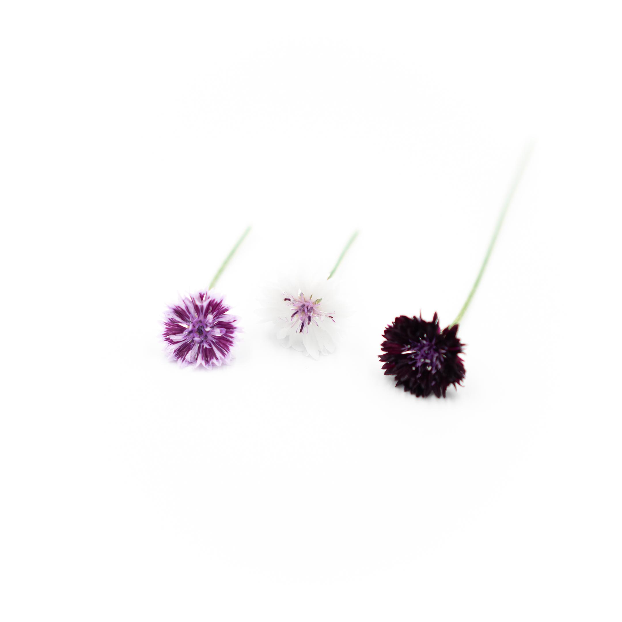 Bachelor Button (Classic Magic Purple)