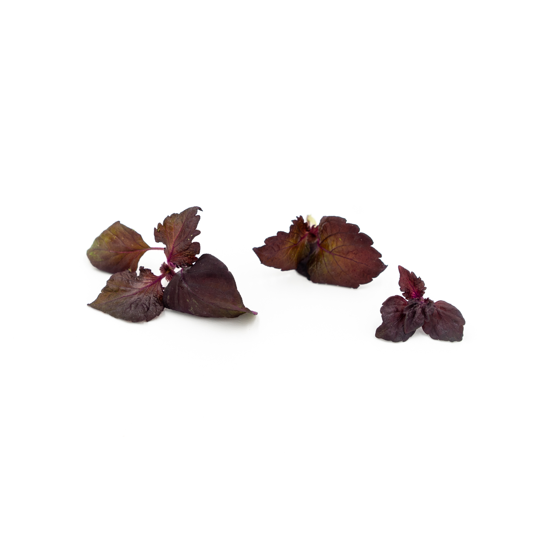 A deep purple-red microgreen with intense shiso flavor