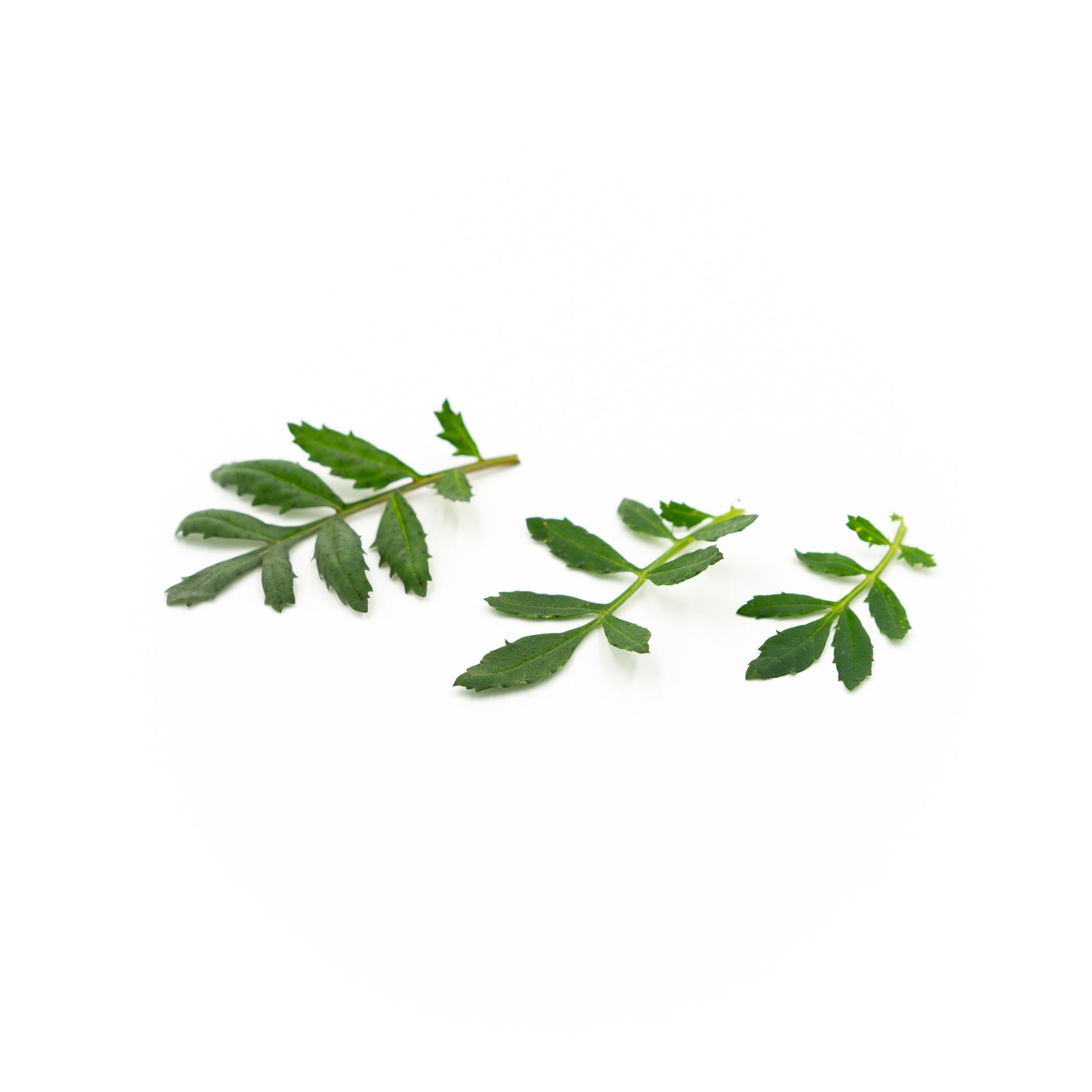 Marigold Leaf