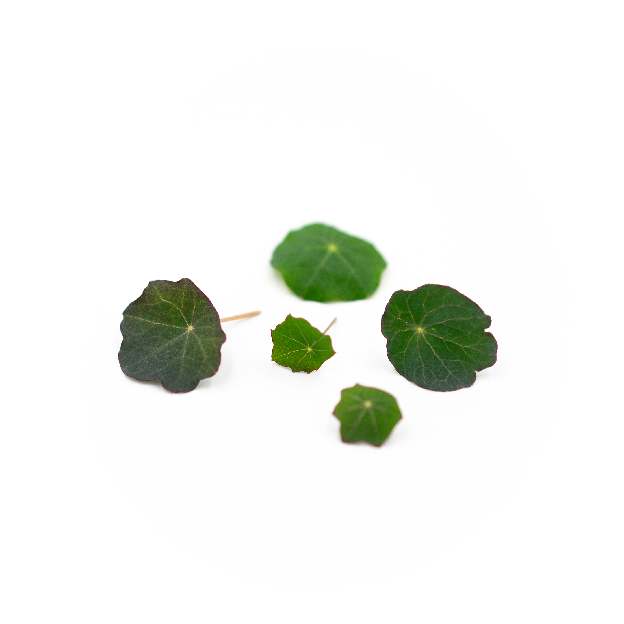 Spicy, peppery herb with soft circular leaves