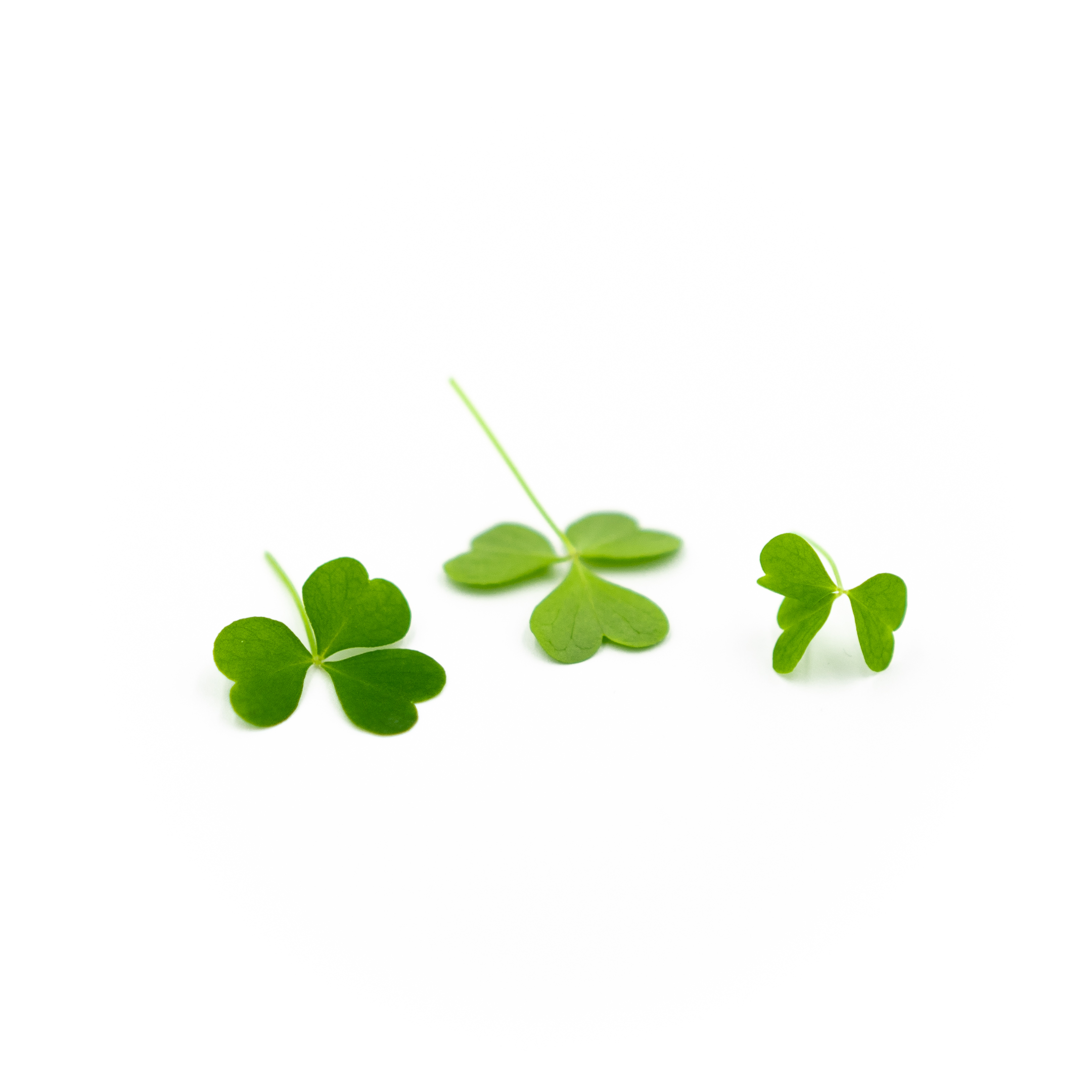Sour tangy flavor in a soft, clover-shaped leaf