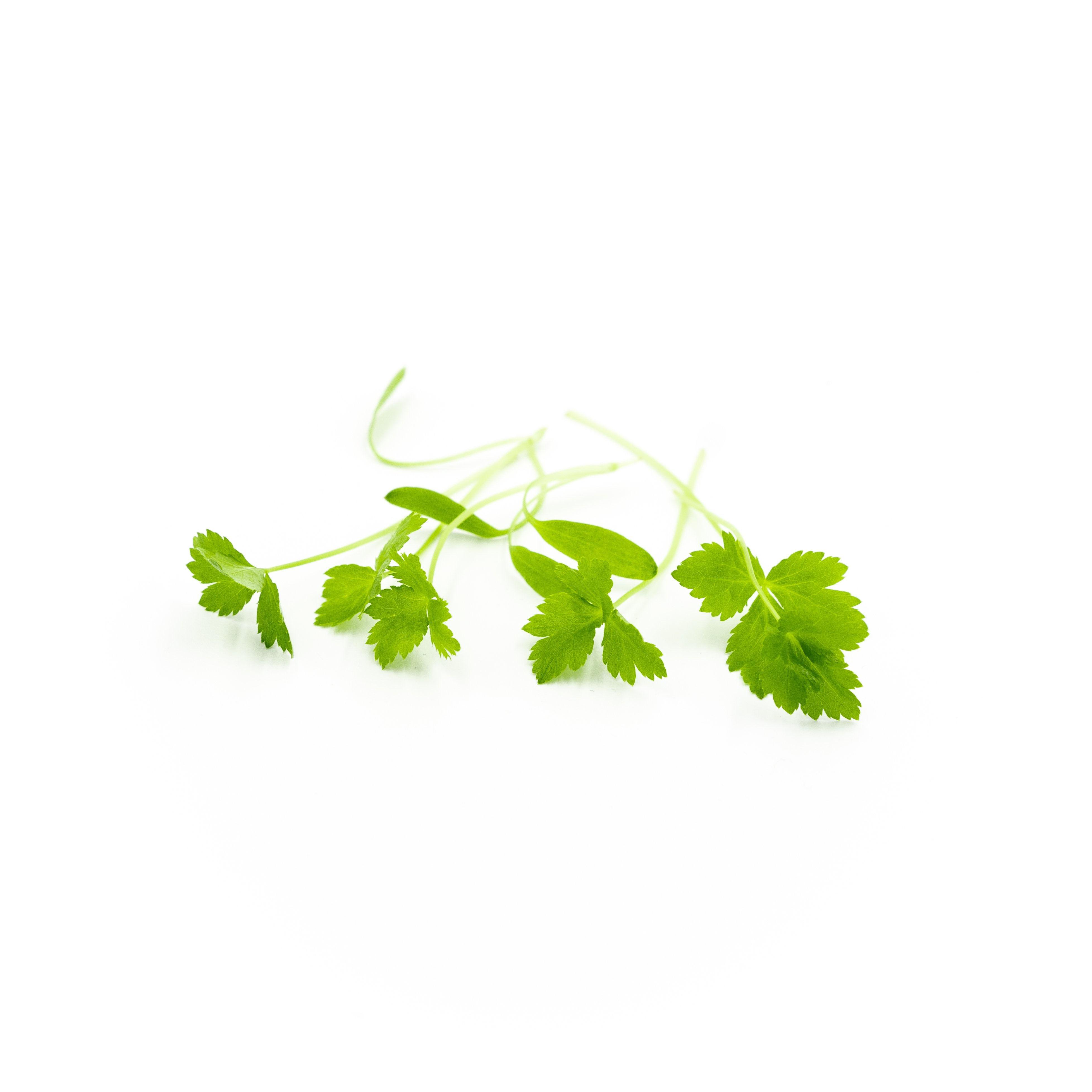 Japanese parsley and celery flavors in bright green leaves