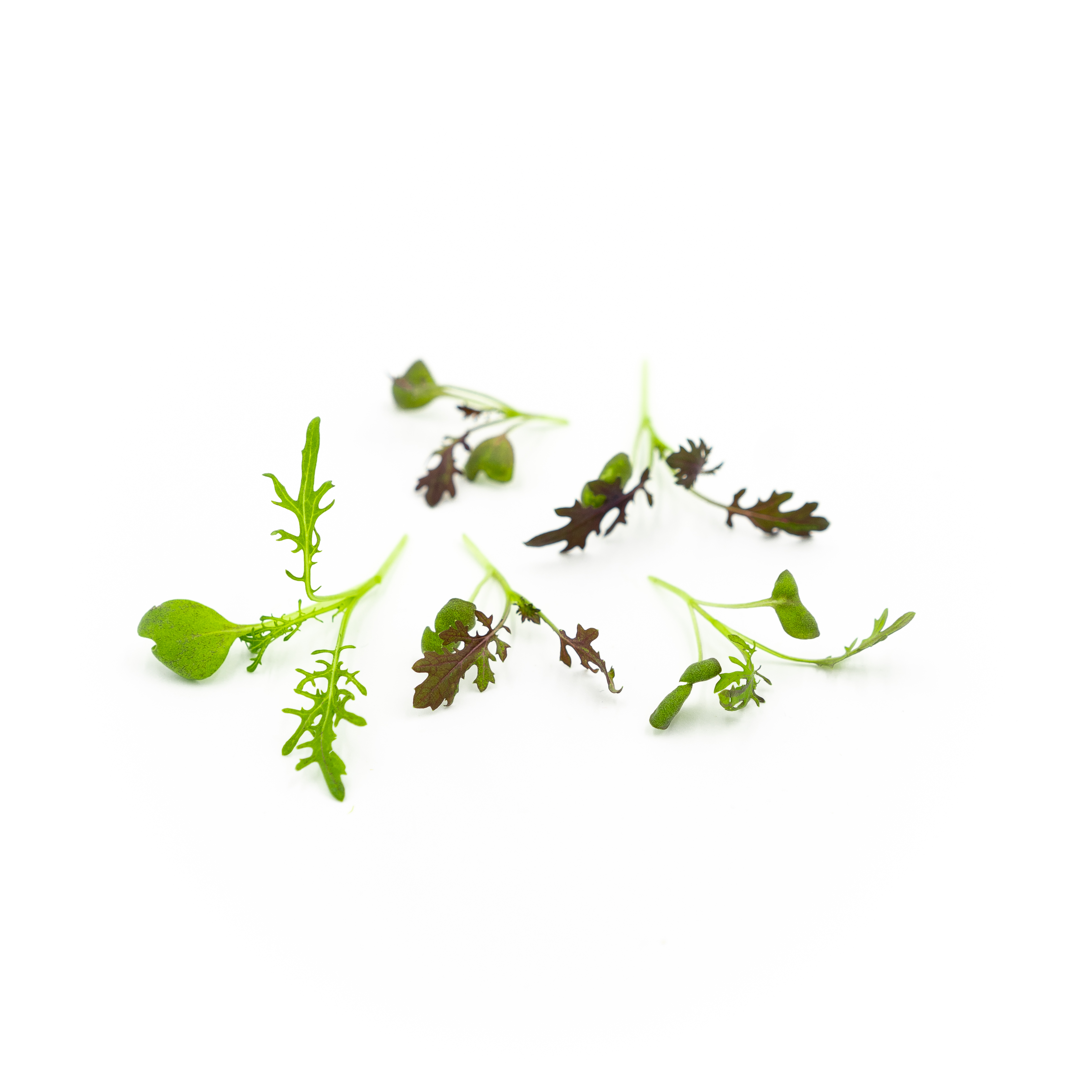 A spicy microgreen with frilly mottled green-purple leaves