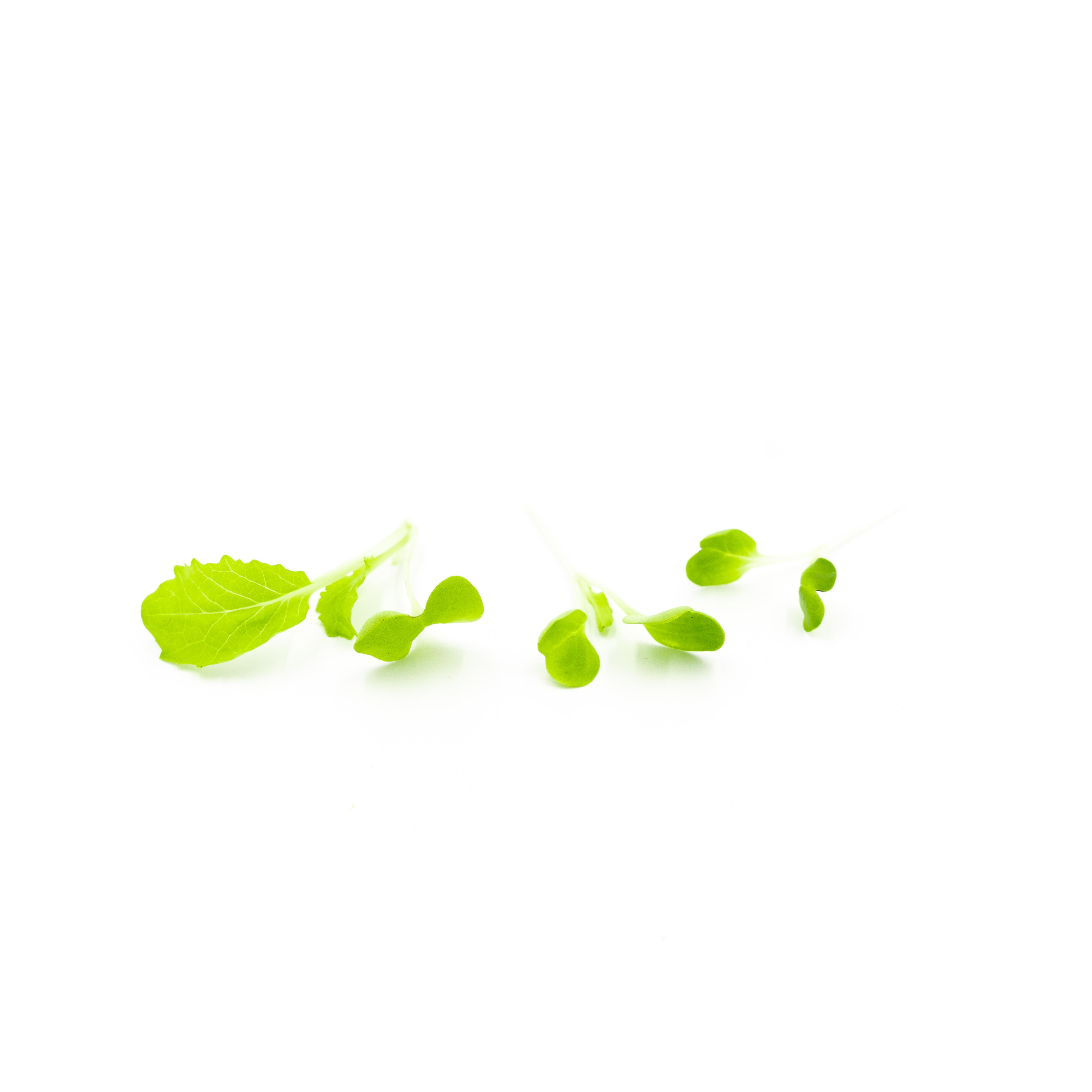 Micro Chinese Cabbage (Kogane)