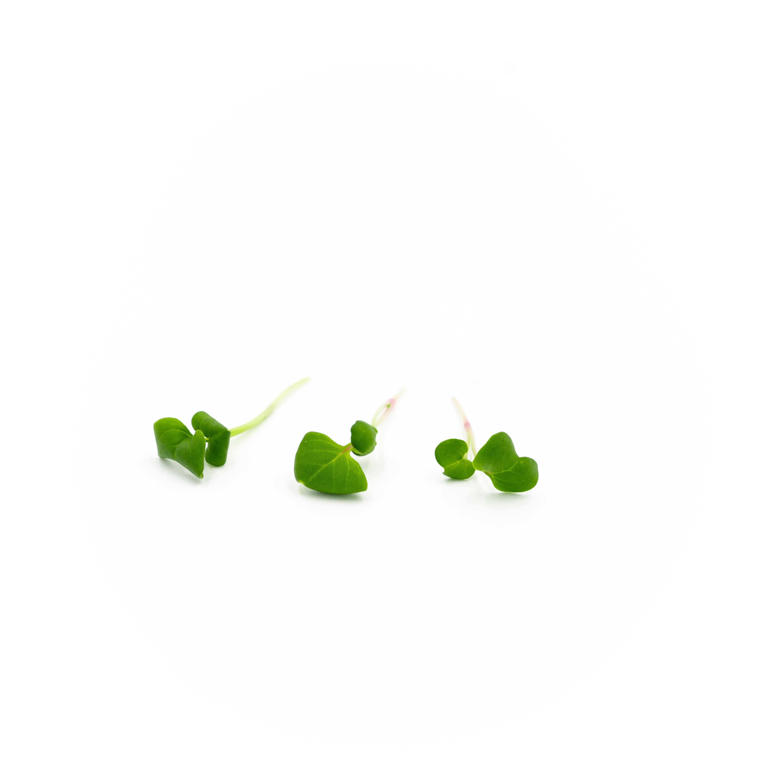 Micro Chinese Radish (Hong Vit)
