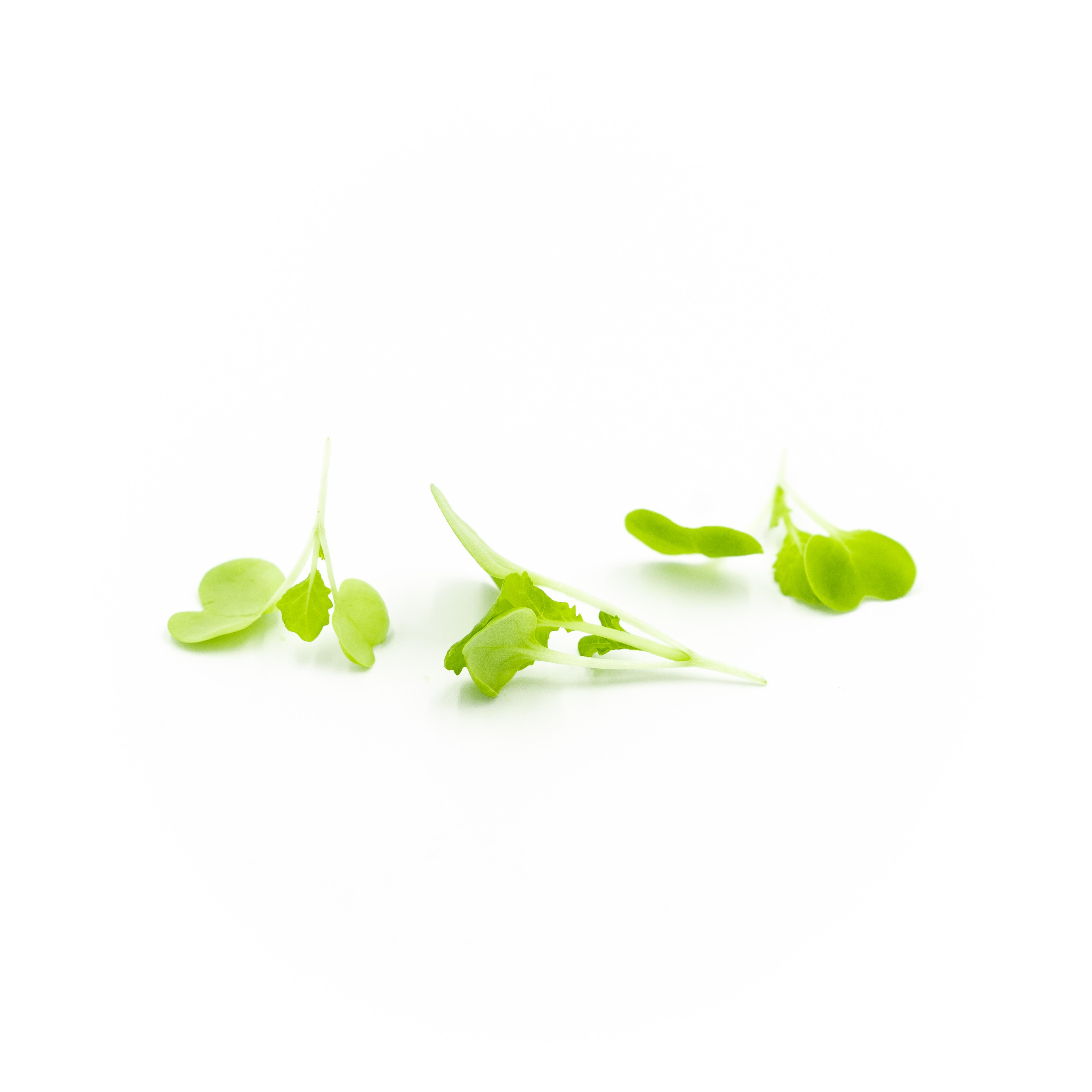 Micro Cabbage (Tokyo Bekana)