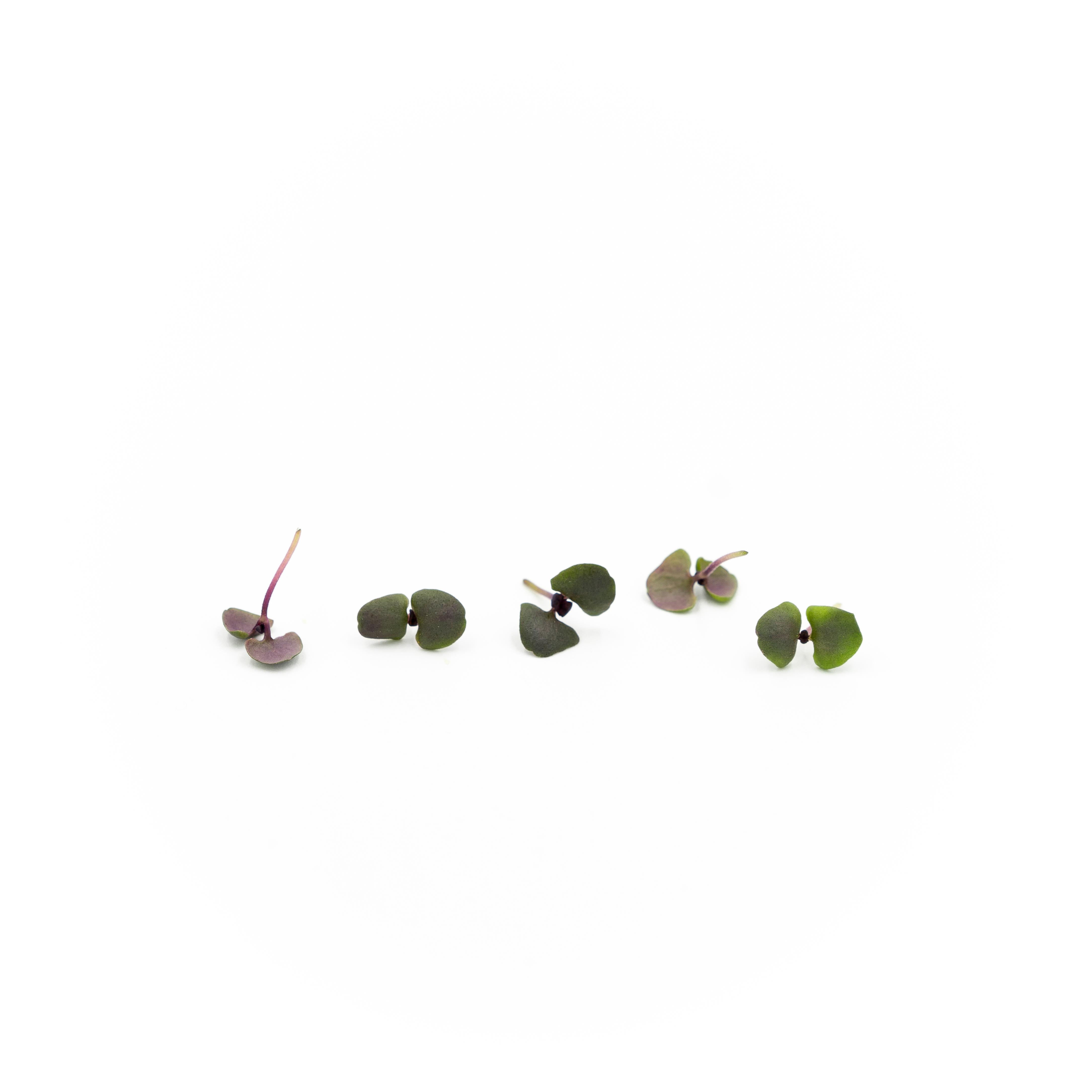 Micro Basil (Opal)