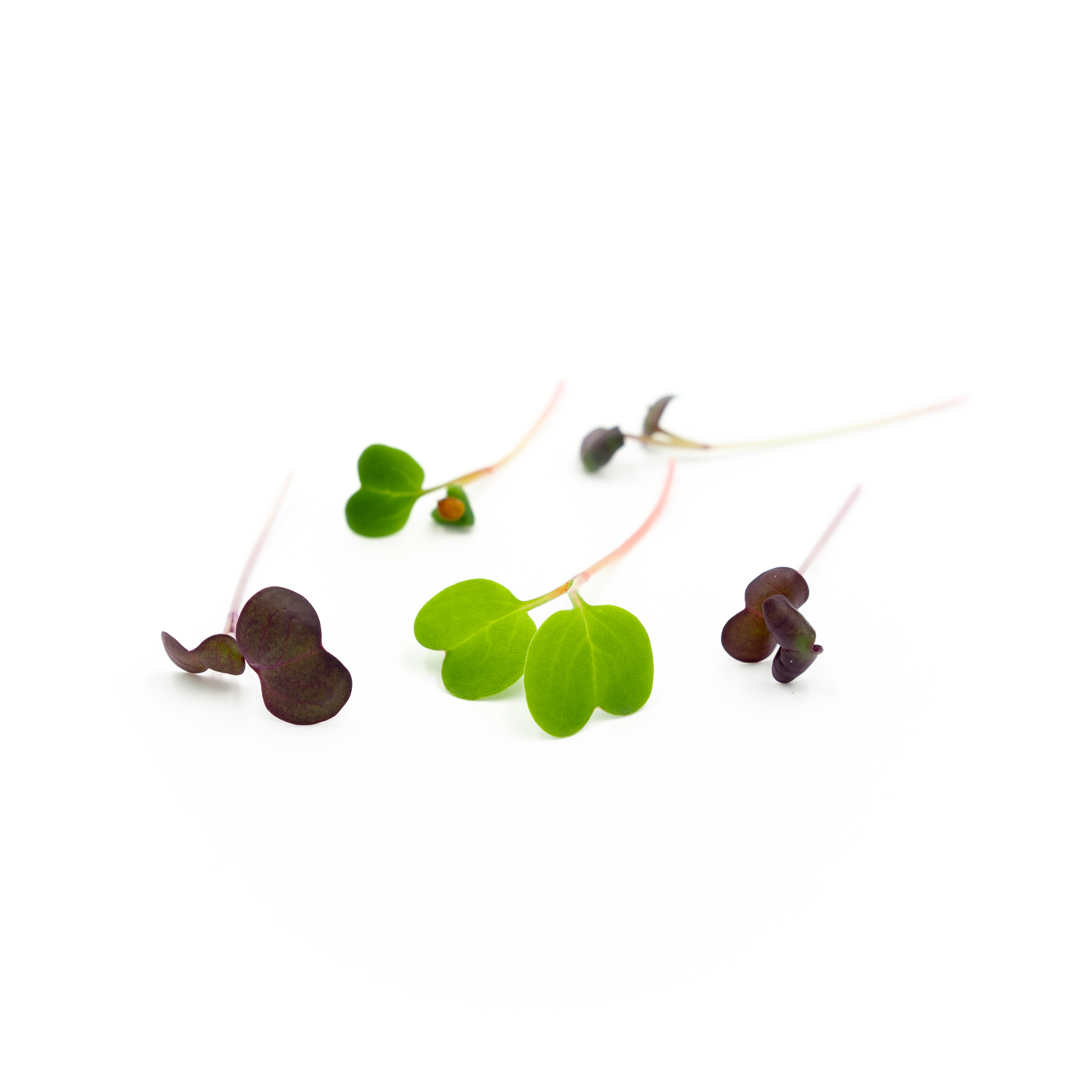 Spicy bright-green leaves and multi-colored watery-crisp stems