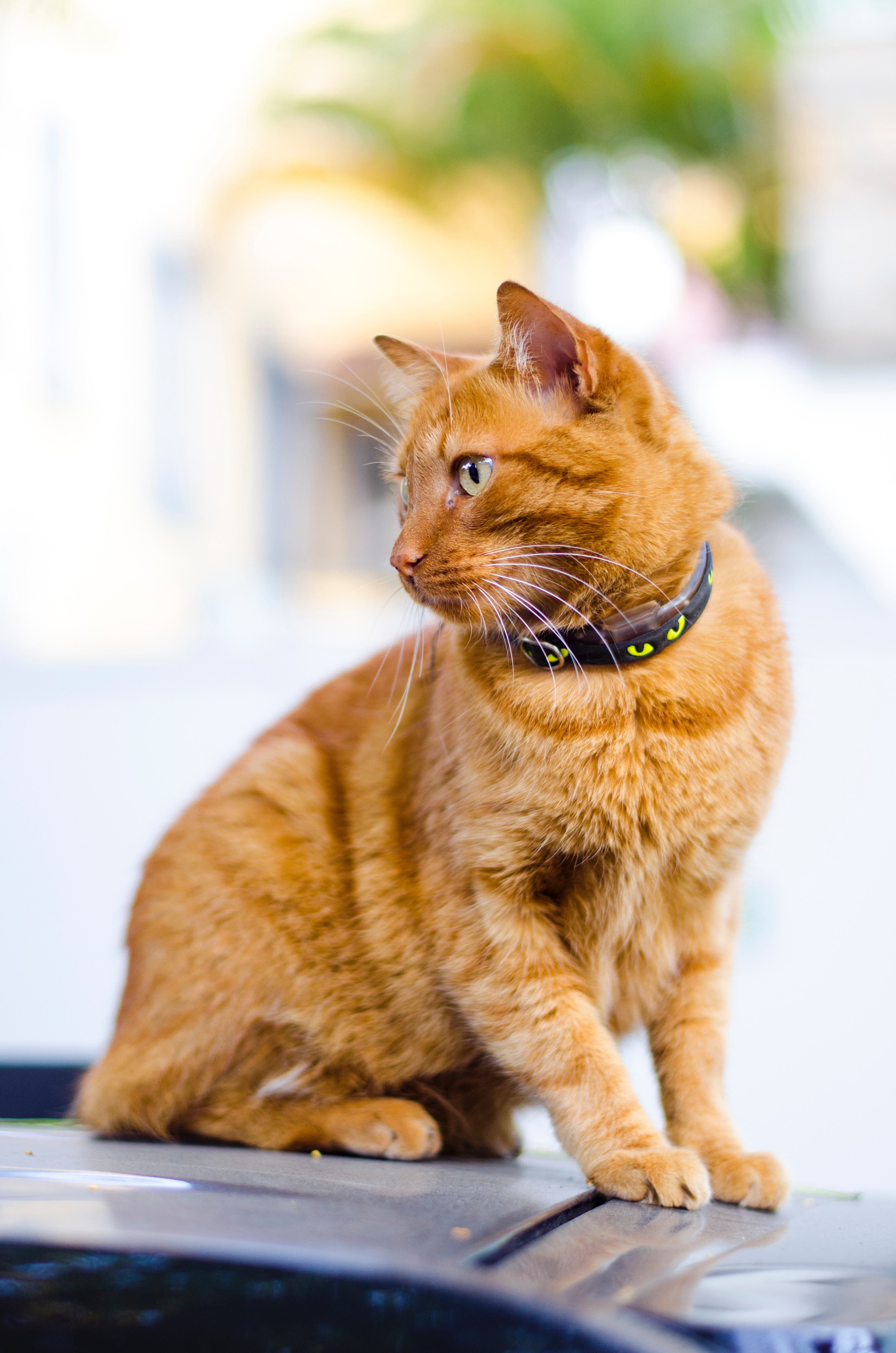 Orange cat wearing a Halloween-themed collar [Unioncrate]