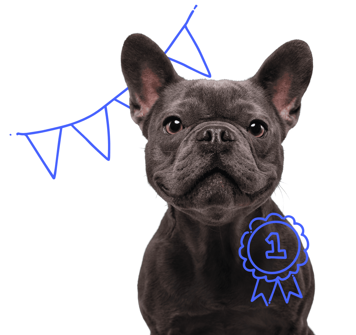 French bulldog with a number 1 badge