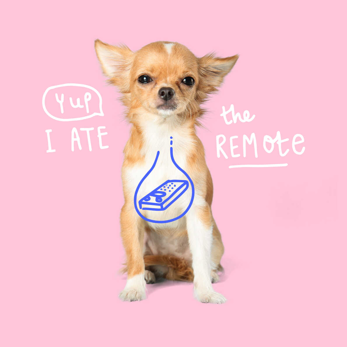 Chihuahua who ate the remote