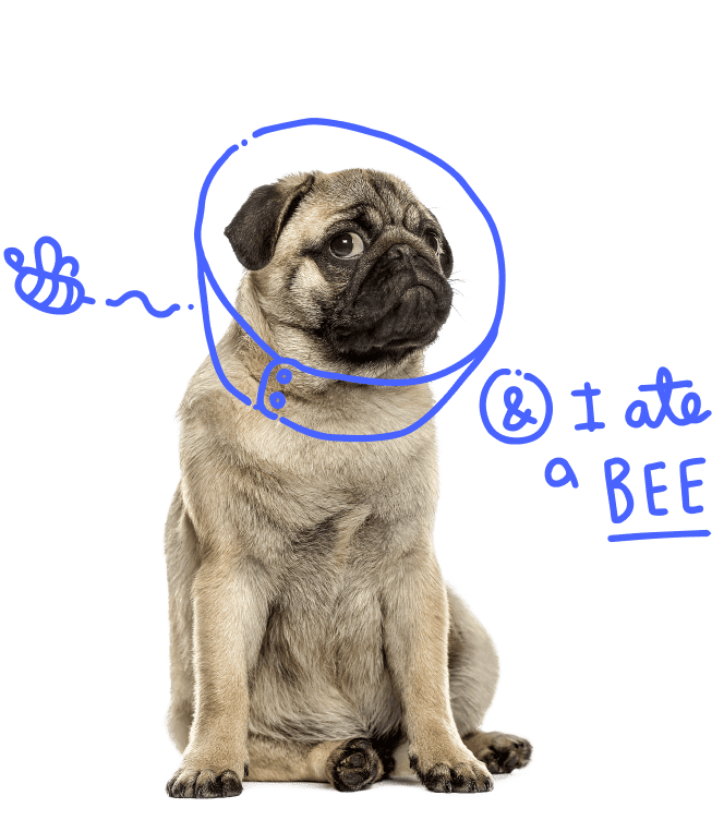 Pug that ate a bee
