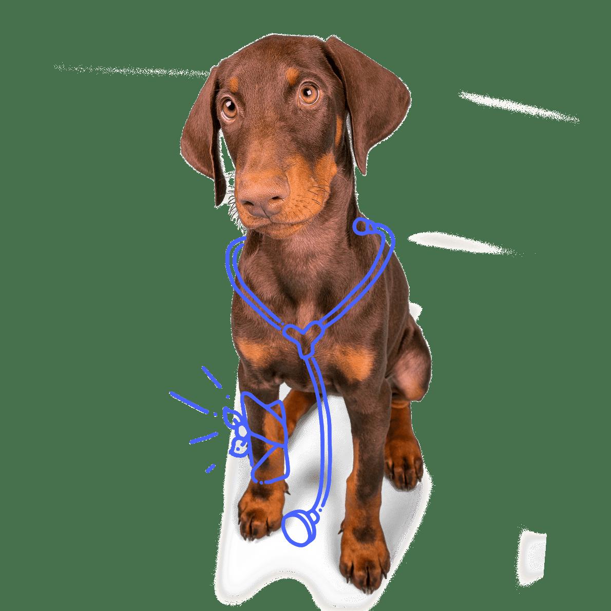 Dog with bandage and stethoscope